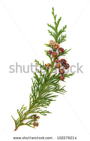 Cedar Leaf Stock Photos, Royalty.