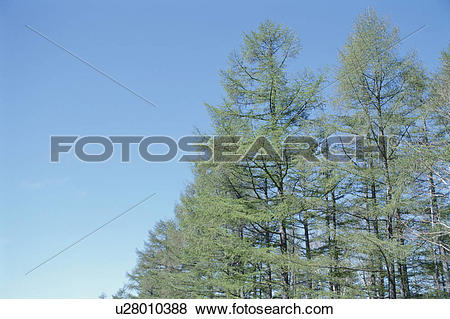 Pictures of Cedars And Blue Sky u28010388.