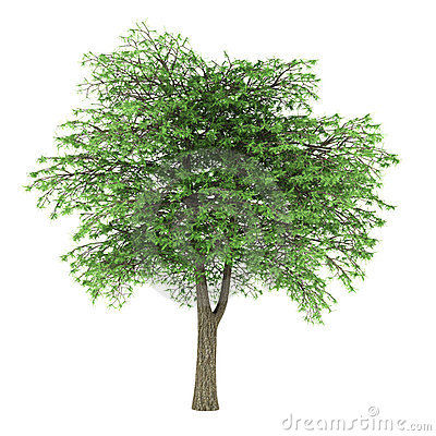 Lebanon Cedar Tree Isolated Royalty Free Stock Photography.