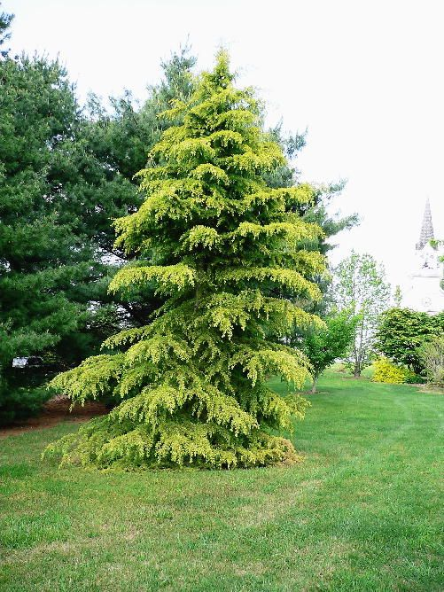 1000+ ideas about Cedrus Deodara on Pinterest.