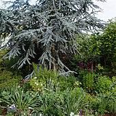 Stock Photography of Mature Coniferous Cedrus Atlantica Cedar Tree.