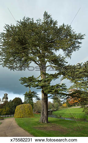 Stock Photography of Mature Coniferous Cedrus Atlantica Cedar Tree.