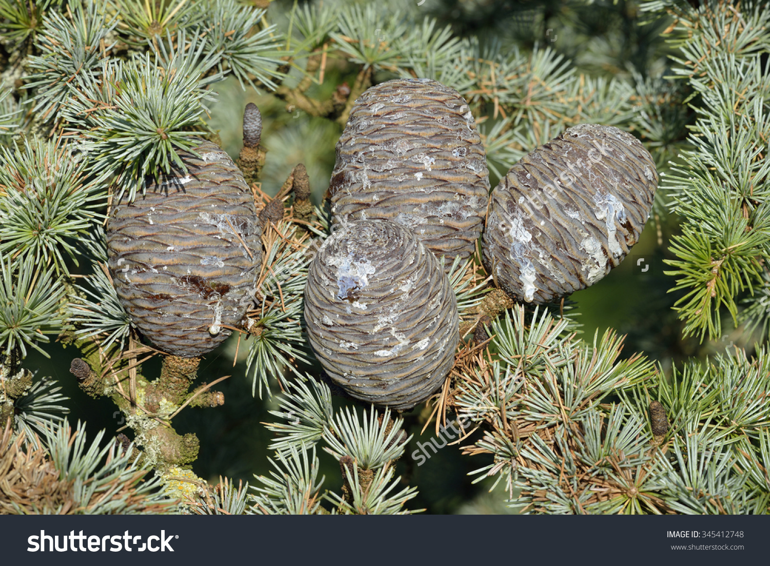 Blue Atlas Cedar Cones.