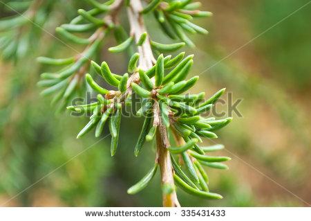 Closeup Of Cedar Atlantic Leaves.