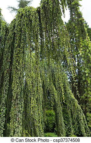Stock Photography of Cedar weeping.