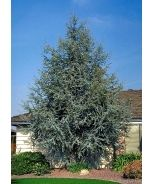 Cedrus atlantica 'Glauca Pendula' trained into a dense living.