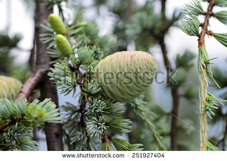 Cedrus Stock Photos, Royalty.