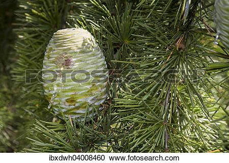 """Stock Photography of """"Cone, Himalayan Cedar (Cedrus deodara."""