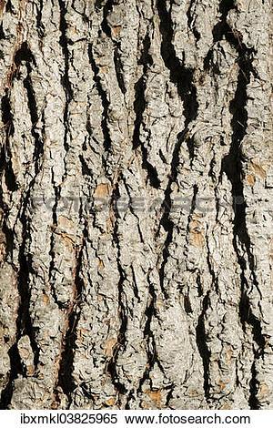 Stock Image of Bark of an Atlas Cedar (Cedrus atlantica.