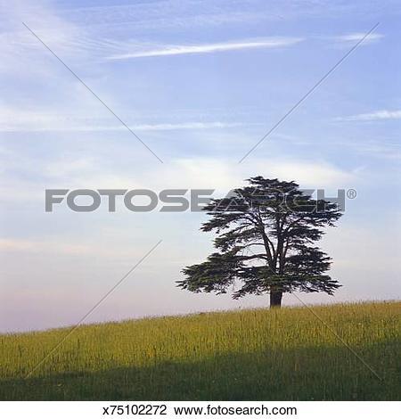 Stock Photo of Cedar of Lebanon (Cedrus libani) tree in the.