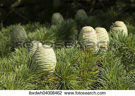 """Stock Photo of """"Pin, Himalayan Cedar (Cedrus deodara."""
