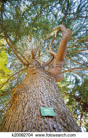 Stock Photo of Cedrus locate in Botanic garden, Christchurch, New.