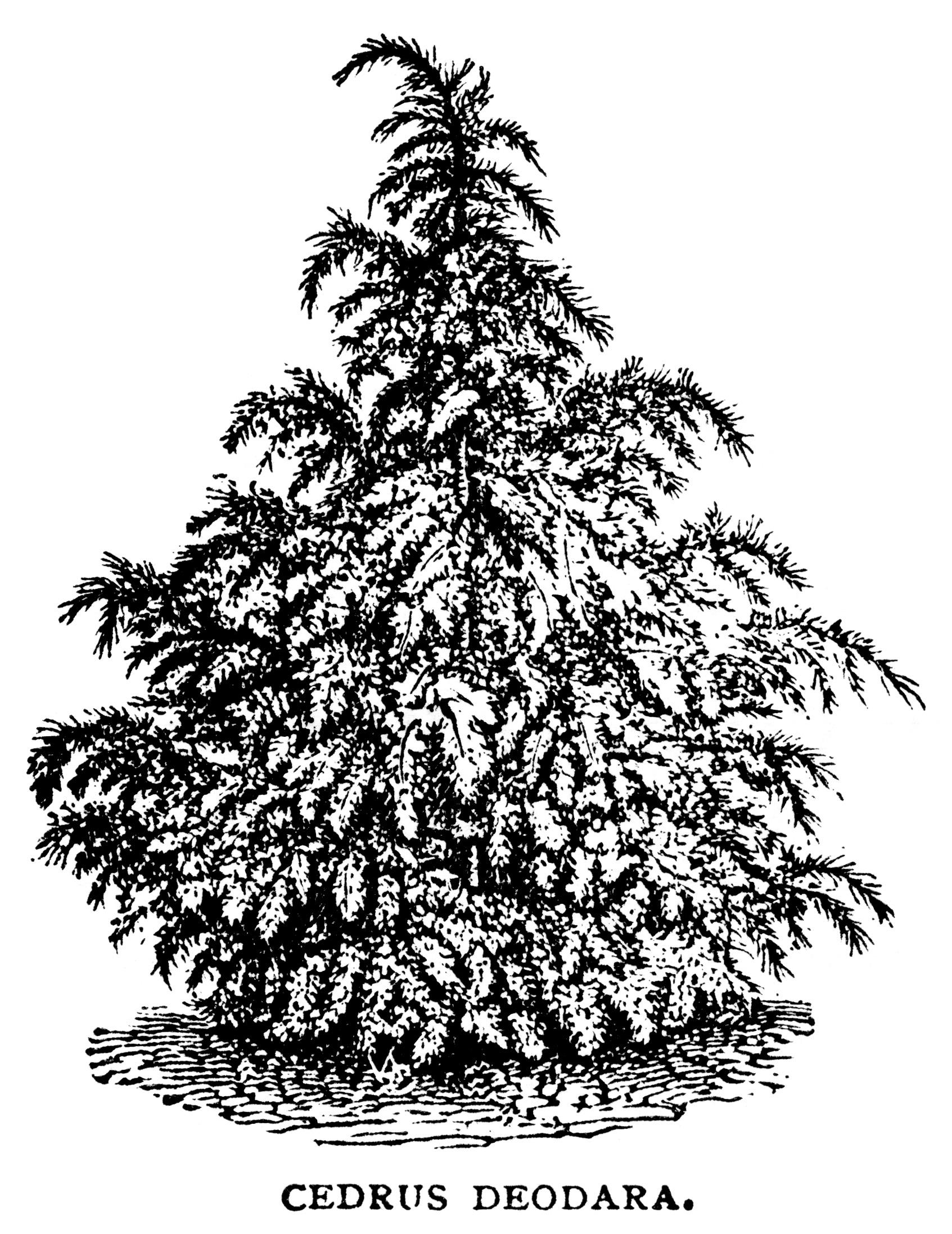 black and white graphics, botanical spruce tree illustration.