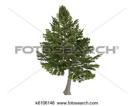 Stock Illustration of Cedar or Cedrus libani k6106146.