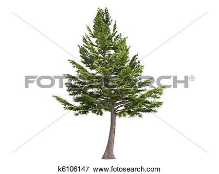 Stock Illustration of Cedar or Cedrus libani k6106147.