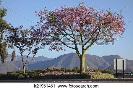 Stock Photography of Ceiba speciosa k21951451.