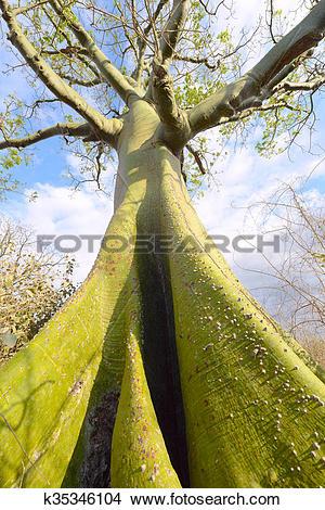 Stock Photo of Giant ceiba tree grows up in sunny coast of Ecuador.
