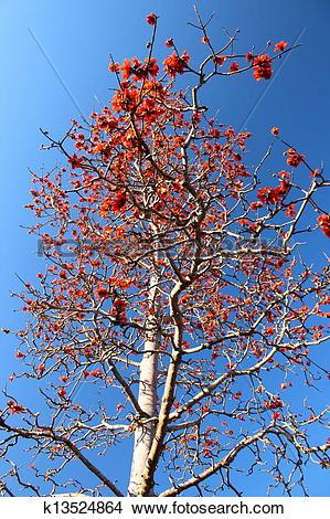 Stock Photo of Kapok tree or Bombax ceiba found in Thailand.