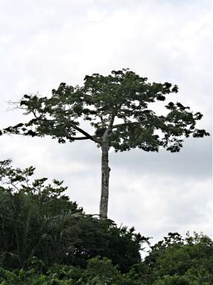 Tropical Ceiba Tree, Ceiba Pentandra, Types Of Evergreen Trees.