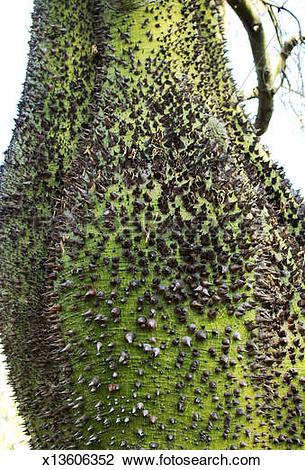 Stock Photo of Trunk of a Ceiba tree x13606352.