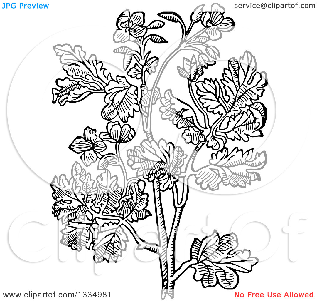 Clipart of a Black and White Woodcut Herbal Medicinal Celandine.