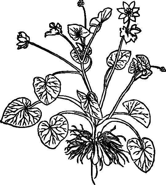 Lesser Celandine clip art Free Vector / 4Vector.
