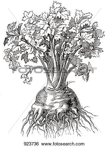 Stock Illustration of Celeriac (illustration) 923736.