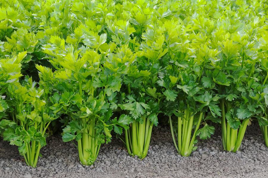 Celery: Why? : The Salt : NPR.