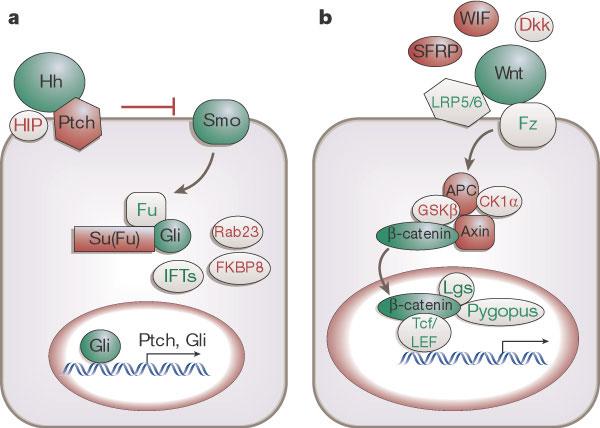 Figure 1 : Tissue repair and stem cell renewal in carcinogenesis.