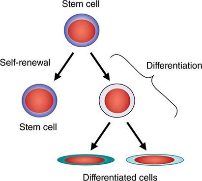 Hematopoietic Stem Cells.