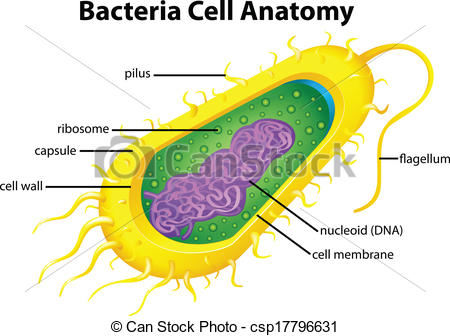 Vectors of Bacteria cell structure.