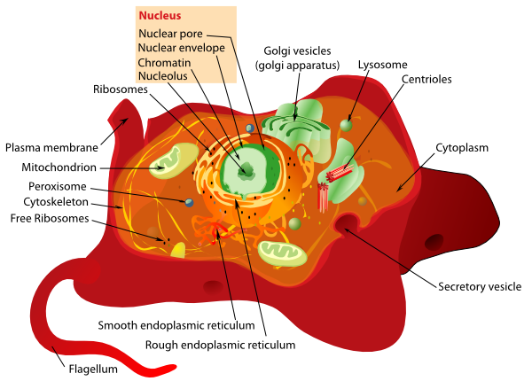 Animal Cell Structure clip art Free Vector / 4Vector.