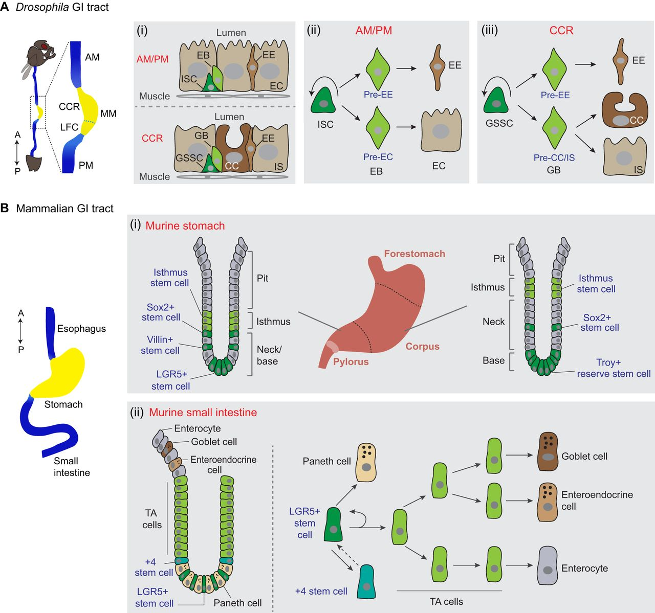 Gastrointestinal stem cells in health and disease: from flies to.