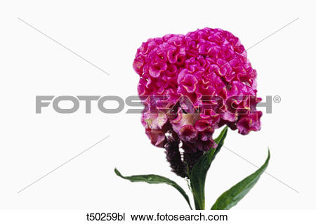 Stock Photo of Celosia flower t50259bl.