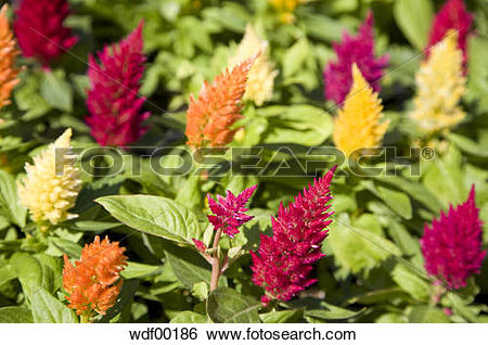 Stock Images of Flowers, cockscomb (Celosia argentea) and.