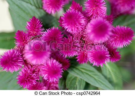 Stock Photo of Celosia (Cockscomb).