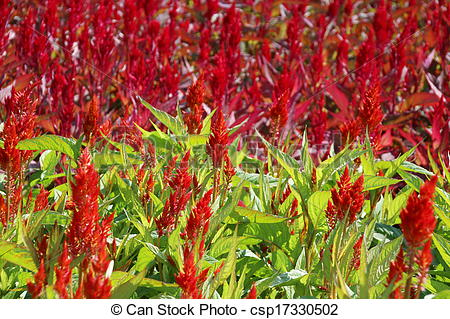 Stock Photography of Celosia, Plume celosia, Wool flower.