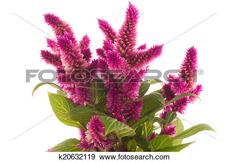 Stock Photograph of Cockscomb celosia spicata plant k20632119.