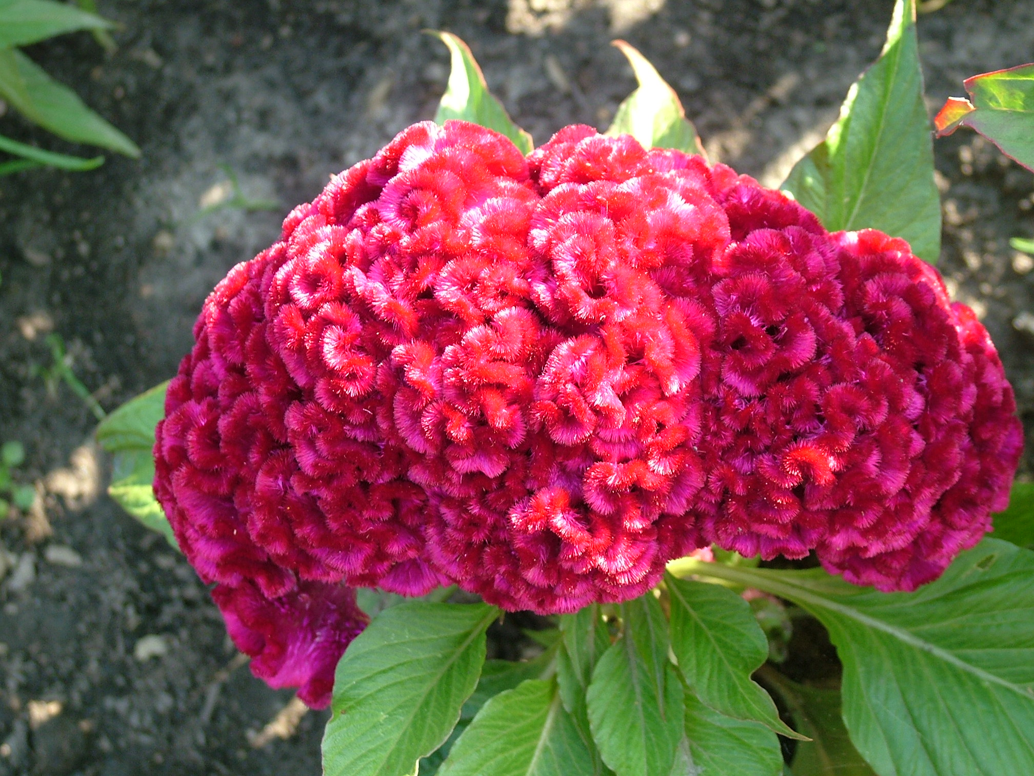 Free 7art flowers clipart and wallpapers: royalty free celosia.