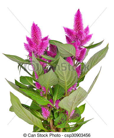 Stock Images of Cockscomb celosia spicata plant isolated on a.