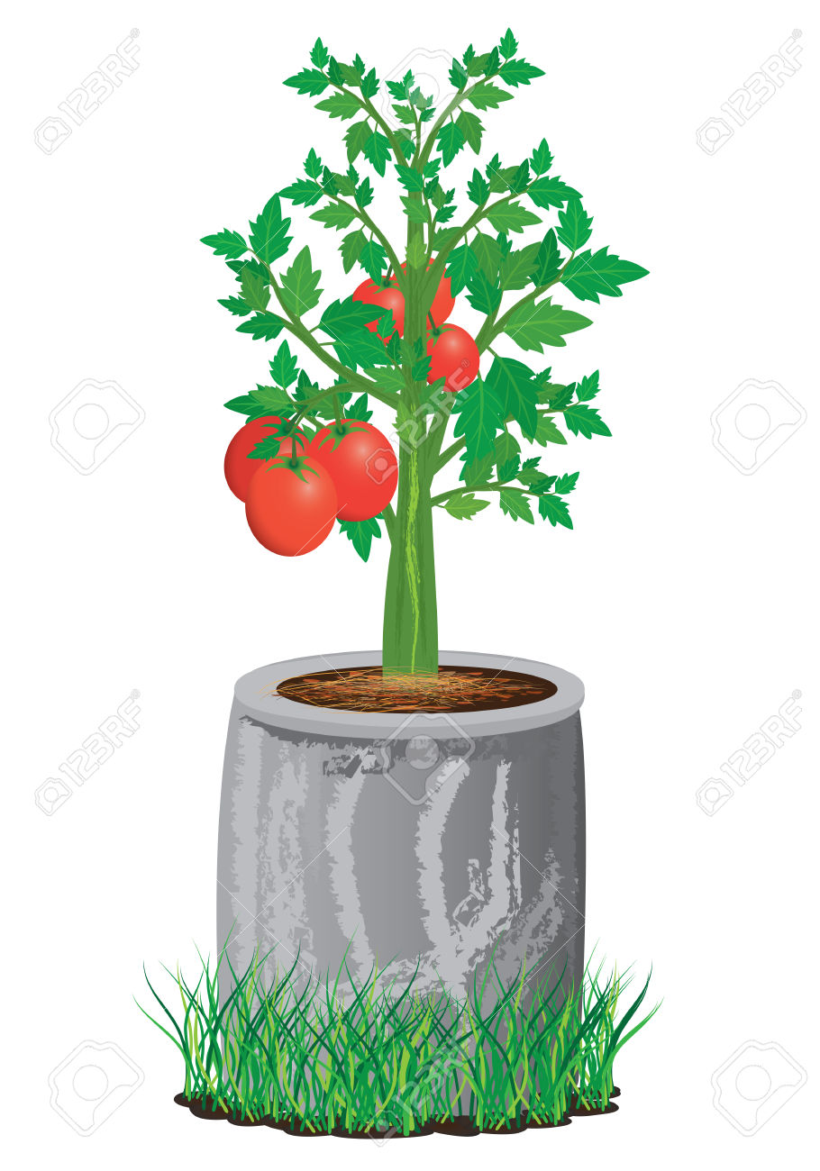 Tomato Plant With Cement Pot Royalty Free Cliparts, Vectors, And.