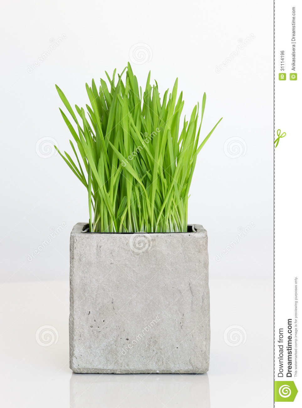 Wheatgrass Growing In Concrete Pot Royalty Free Stock Image.