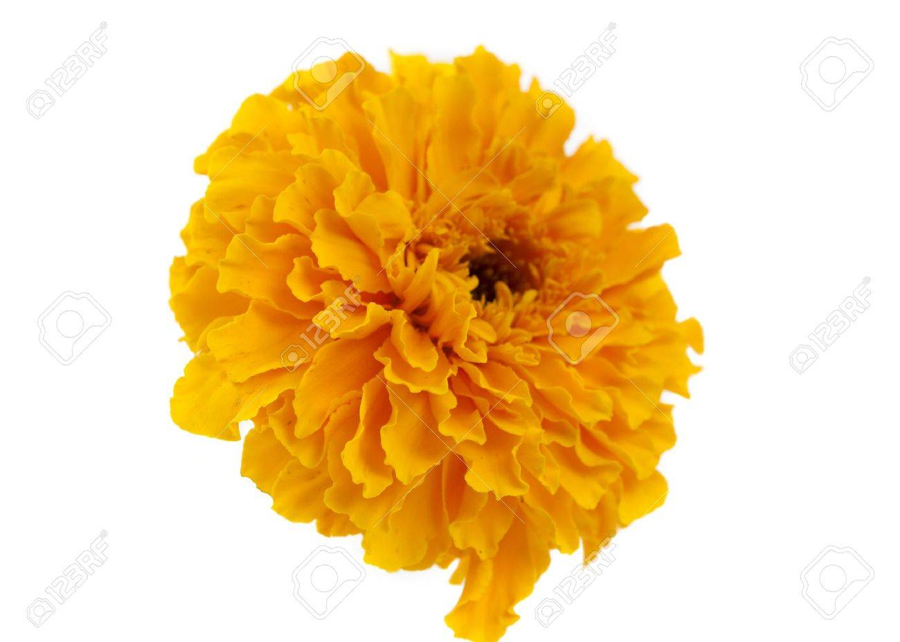 Yellow marigold flower isolated on white.