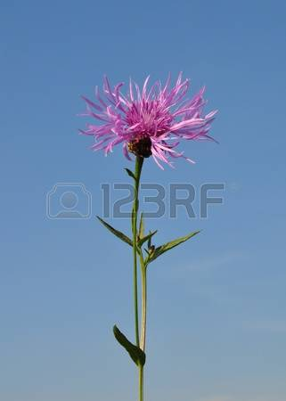 Brown Knapweed Stock Photos & Pictures. Royalty Free Brown.