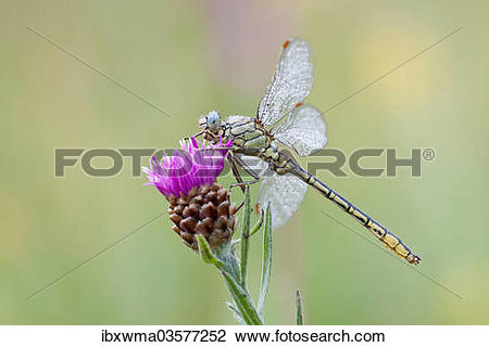 "Stock Photo of ""Western Clubtail (gomphus pulchellus) perched on."