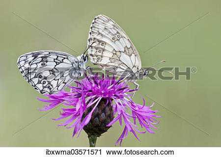 "Stock Photography of ""Two Marbled White Butterflies (Melanargia."