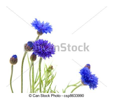 Stock Photos of blue cornflower or bachelors button Centaurea.