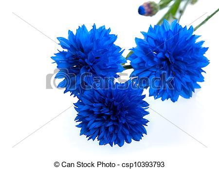 Stock Photographs of Blue Cornflower Flower (Centaurea cyanus.