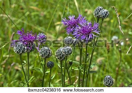 Stock Images of Greater knapweed (Centaurea scabiosa), Tyrol.