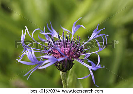 "Stock Photo of ""Cornflower (Centaurea cyanus), flower."